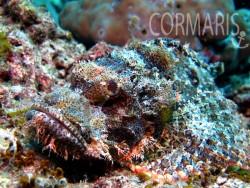 Scorpionfish. Foto: cku