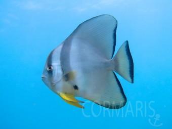 Fledermausfisch. Foto: cku