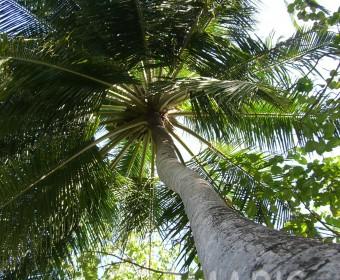 Obacht: Kokosnüsse von oben. Foto: cku