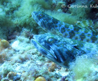 Lizard fish. Foto: cku