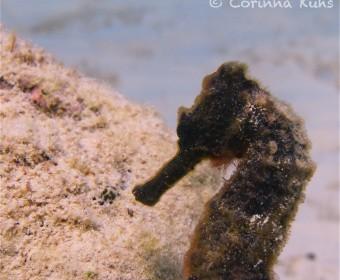 Seahorse. Foto: cku
