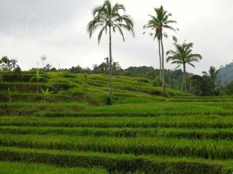 Reis. Reis. Reis. Immer und überall. Foto: cku