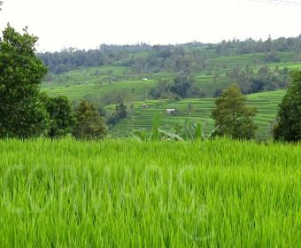 Wenn's mal Grün statt Blau sein soll: Reisterrassen. Foto: cku