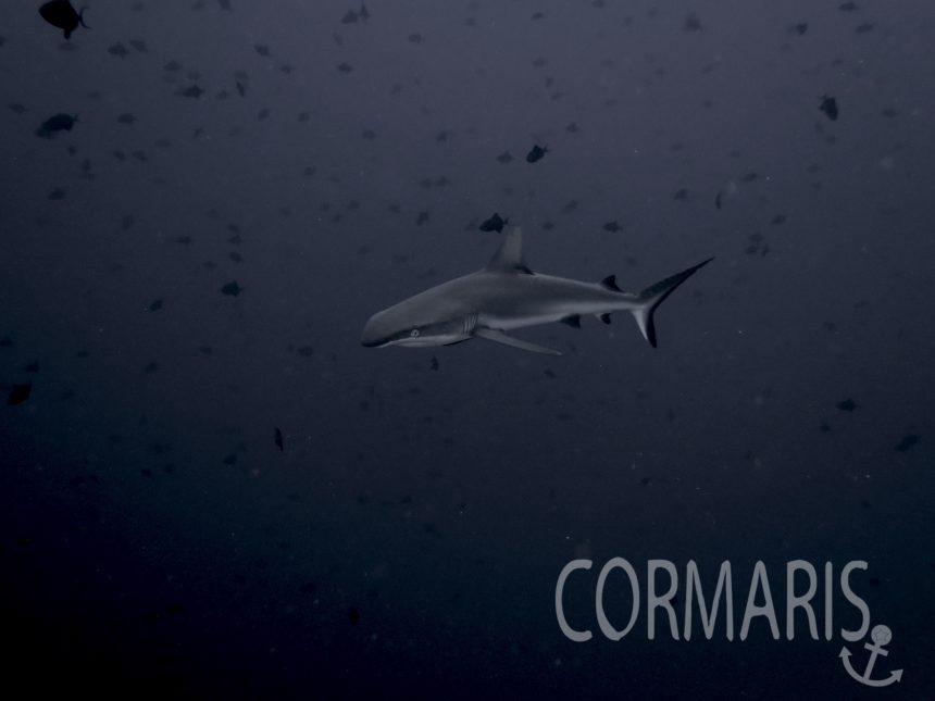Blue Corner: Ein irgendwie deformierter Hai. Die Nase sieht nicht so aus, wie sie sollte. Foto: cku