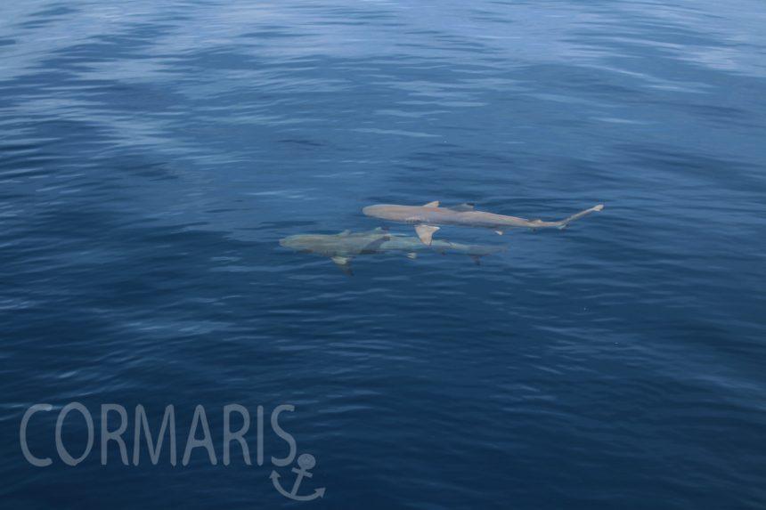 Wie gemalt, ist aber echt: Haie umkreisen das Boot. Foto: cku